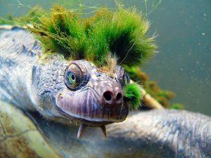 Il grido d'allarme: rischia di estinguersi la tartaruga punk