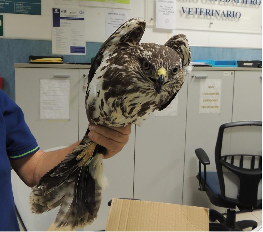 Uccello rapace ferito nel Fortore: interviene la Lipu sannita