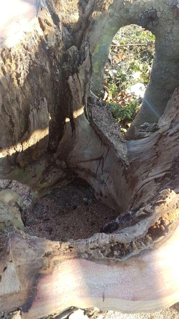 Viale Airola-Moiano |  abbattuti tre alberi a rischio di immediata caduta