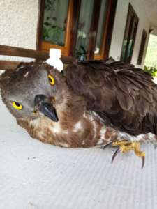 Oliveto Citra, raro esemplare di falco salvato dalle guardie ecozoofile (FOTO e VIDEO)